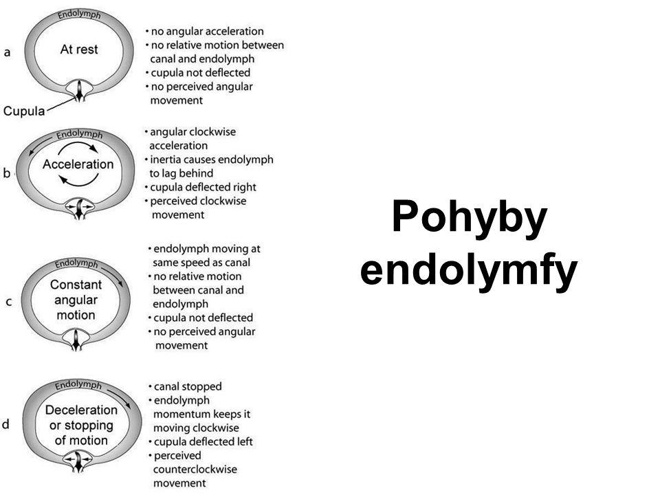 Pohyby endolymfy