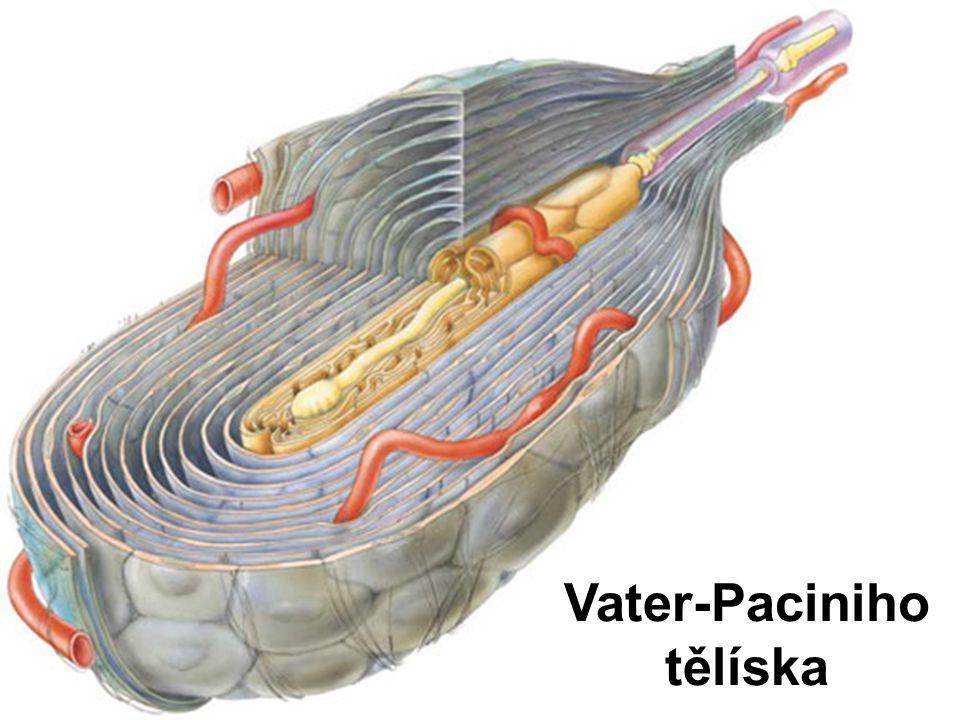 Vater-Paciniho tělíska