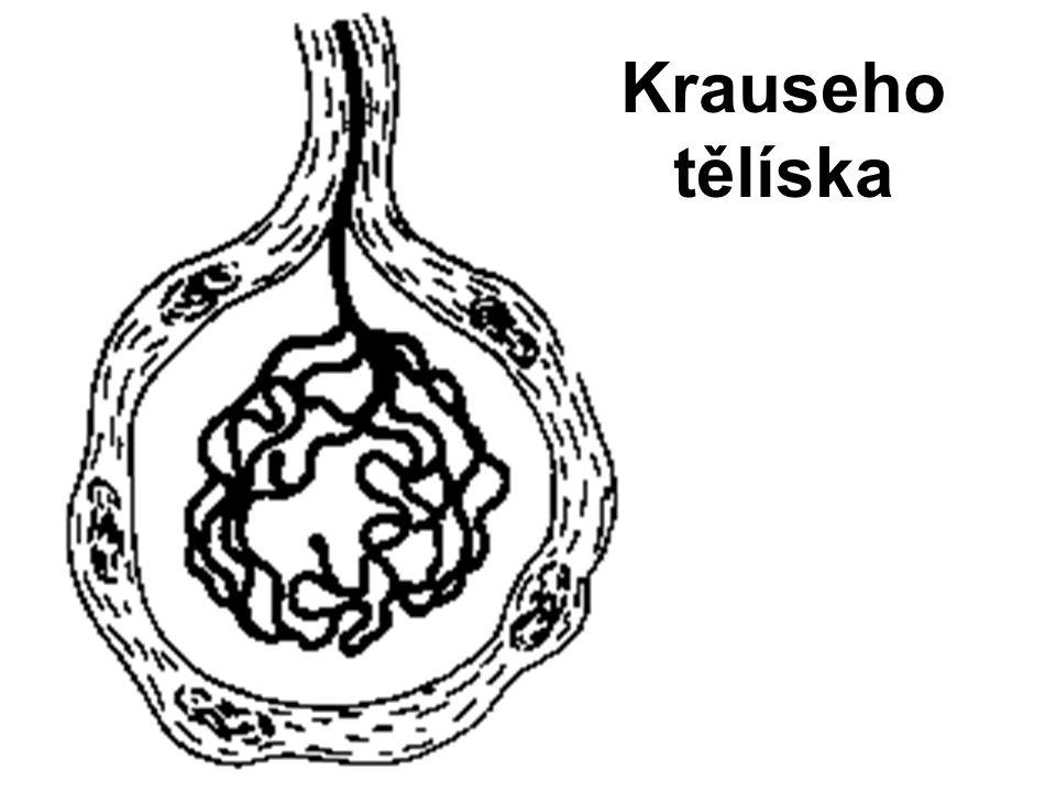 Krauseho tělíska
