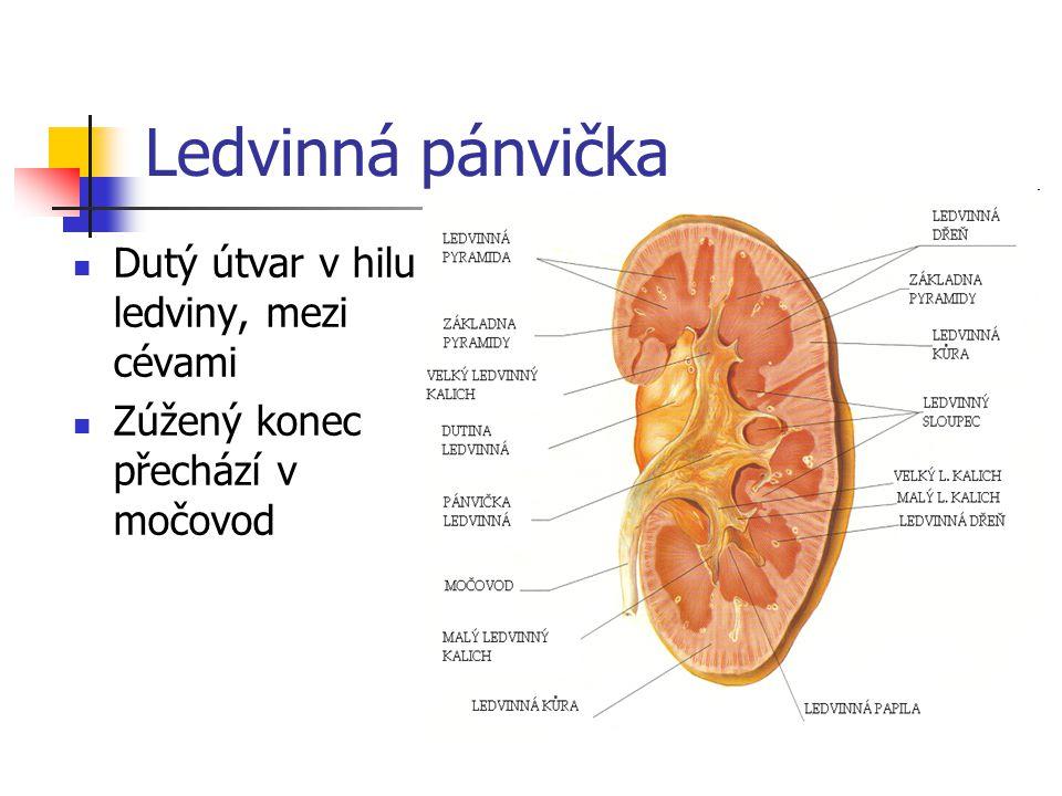 Ledvinná pánvička Dutý útvar v hilu ledviny, mezi cévami
