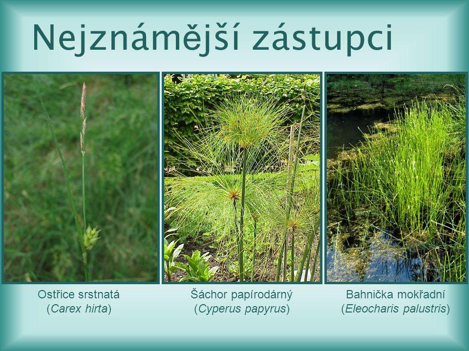(Eleocharis palustris)