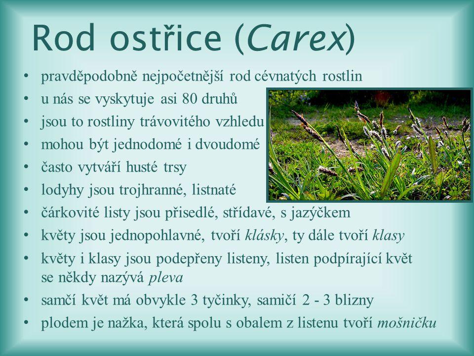 Rod ostřice (Carex) pravděpodobně nejpočetnější rod cévnatých rostlin