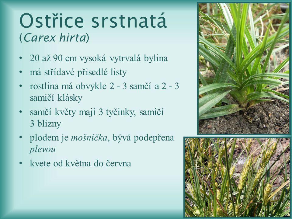 Ostřice srstnatá (Carex hirta)