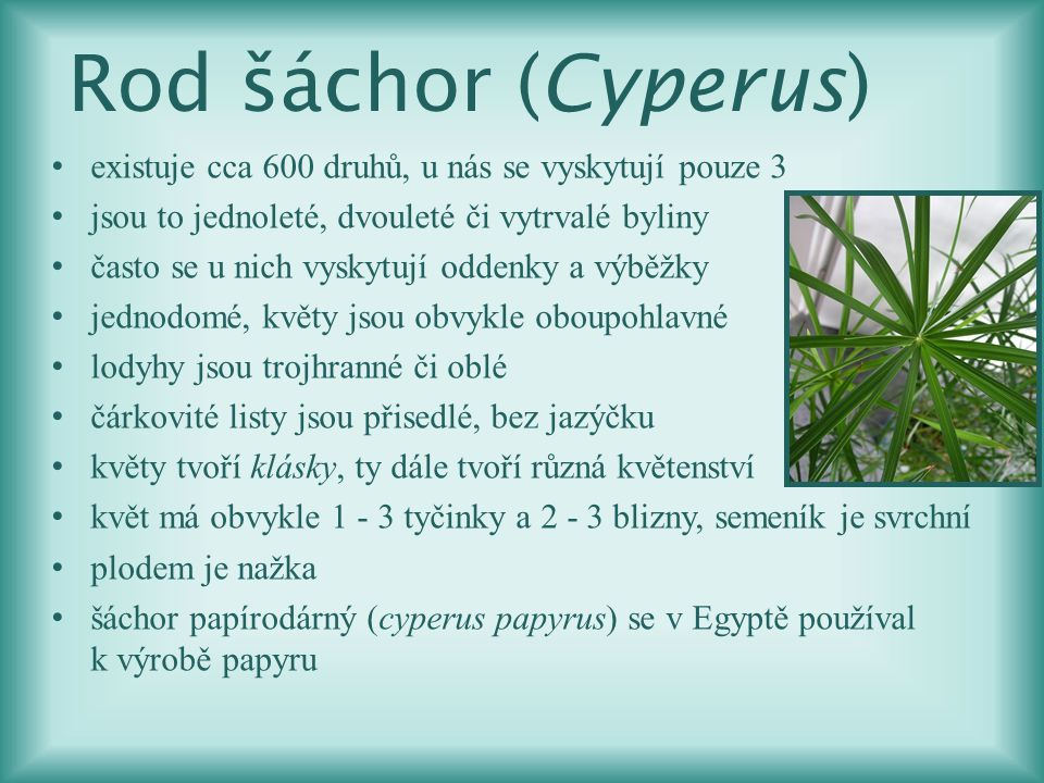 Rod šáchor (Cyperus) existuje cca 600 druhů, u nás se vyskytují pouze 3. jsou to jednoleté, dvouleté či vytrvalé byliny.