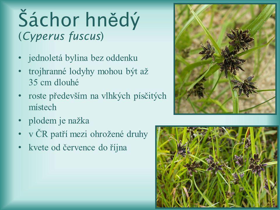 Šáchor hnědý (Cyperus fuscus)
