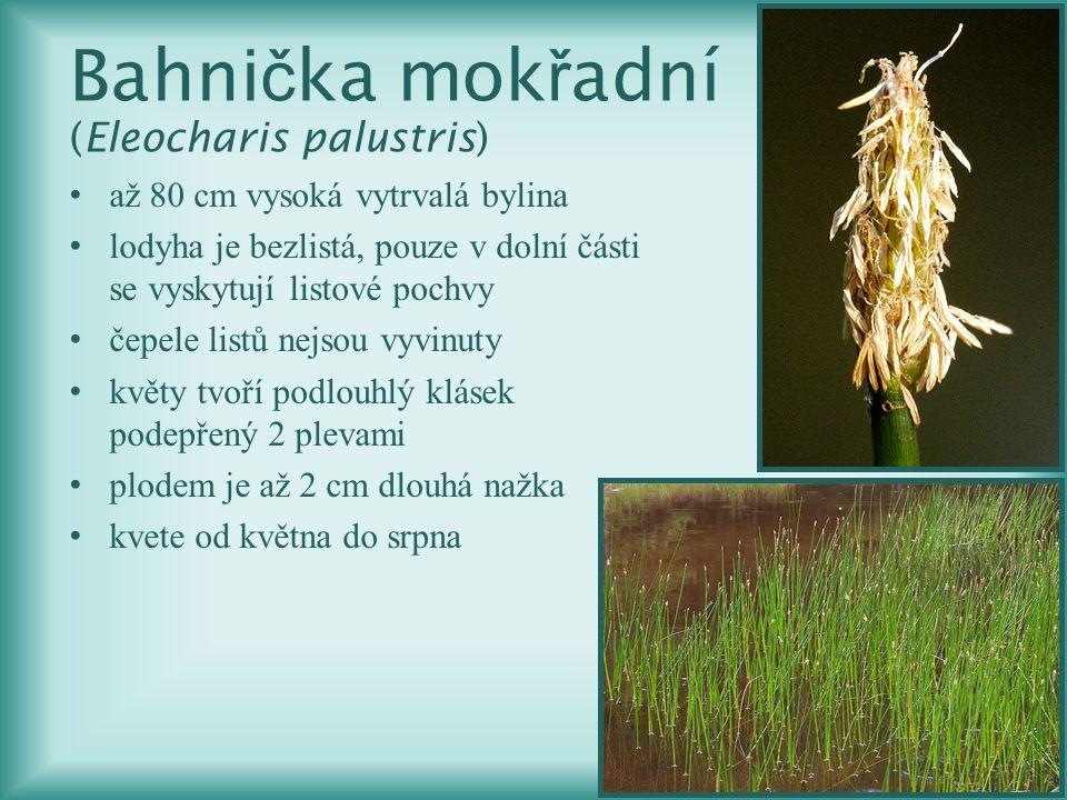 Bahnička mokřadní (Eleocharis palustris)