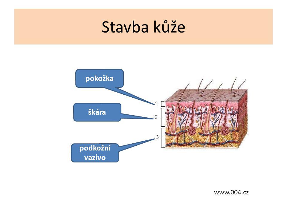Stavba kůže pokožka škára podkožní vazivo www.004.cz