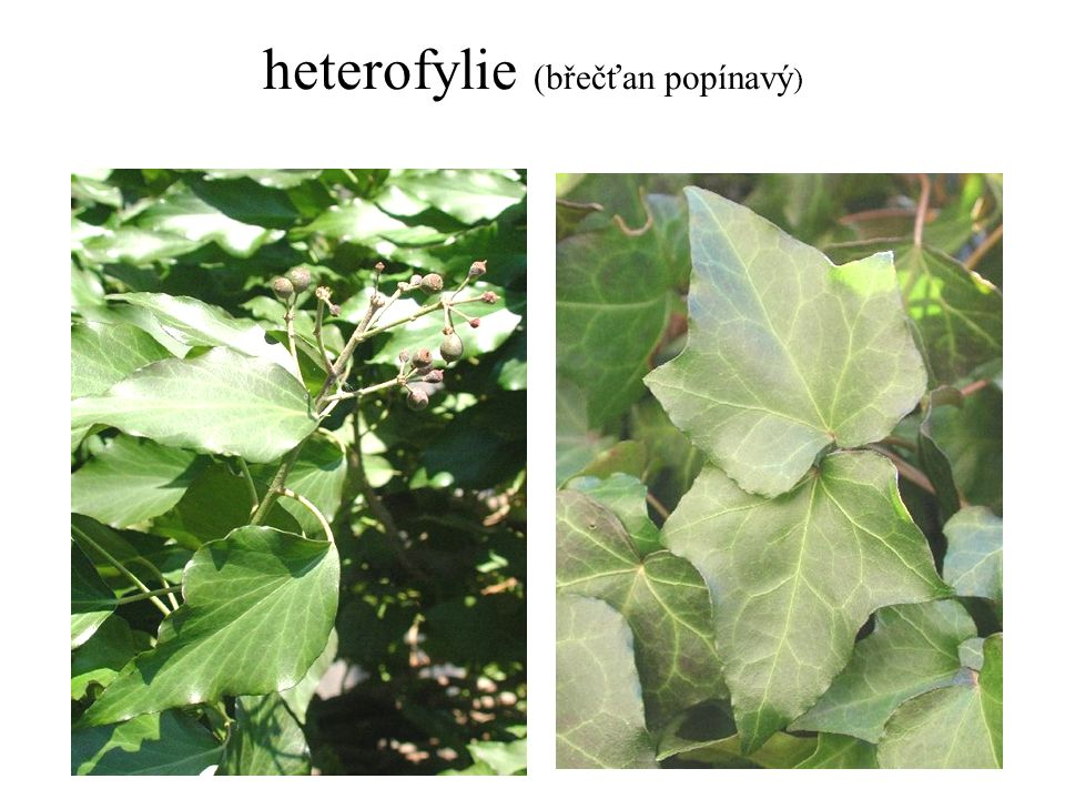 heterofylie (břečťan popínavý)