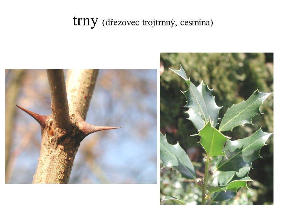 trny (dřezovec trojtrnný, cesmína)