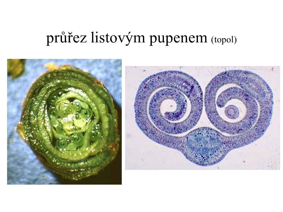 průřez listovým pupenem (topol)
