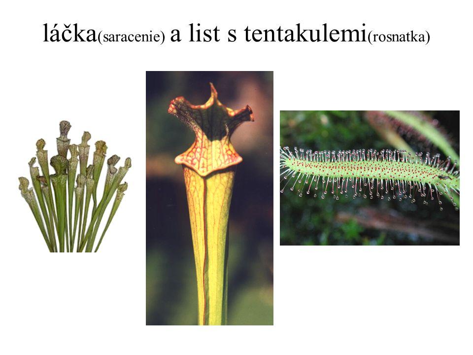 láčka(saracenie) a list s tentakulemi(rosnatka)