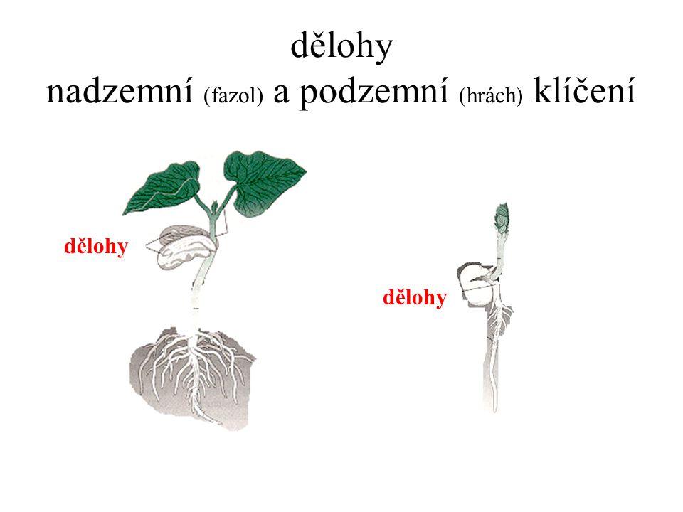 dělohy nadzemní (fazol) a podzemní (hrách) klíčení