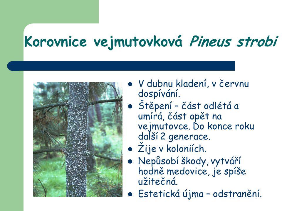Korovnice vejmutovková Pineus strobi