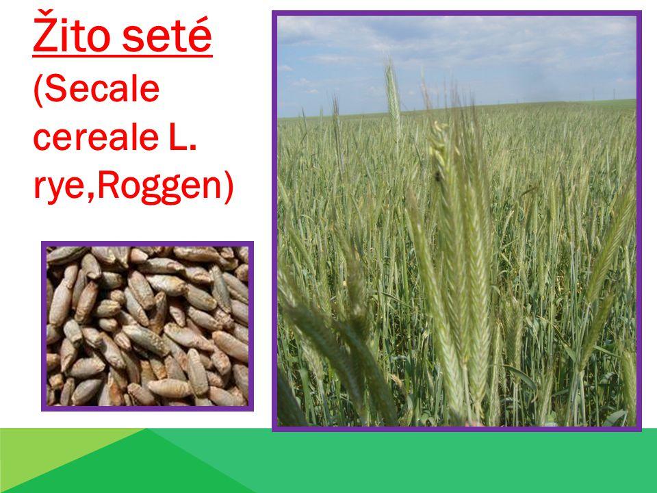 Žito seté (Secale cereale L. rye,Roggen) Pšenice obecn