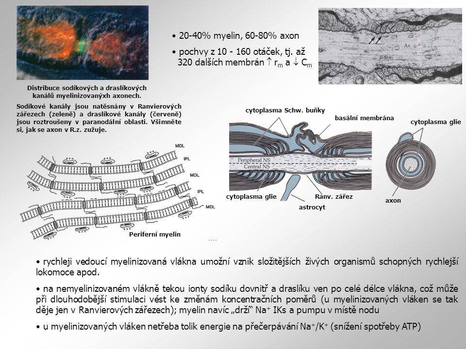 Distribuce sodíkových a draslíkových kanálů myelinizovanýxh axonech.