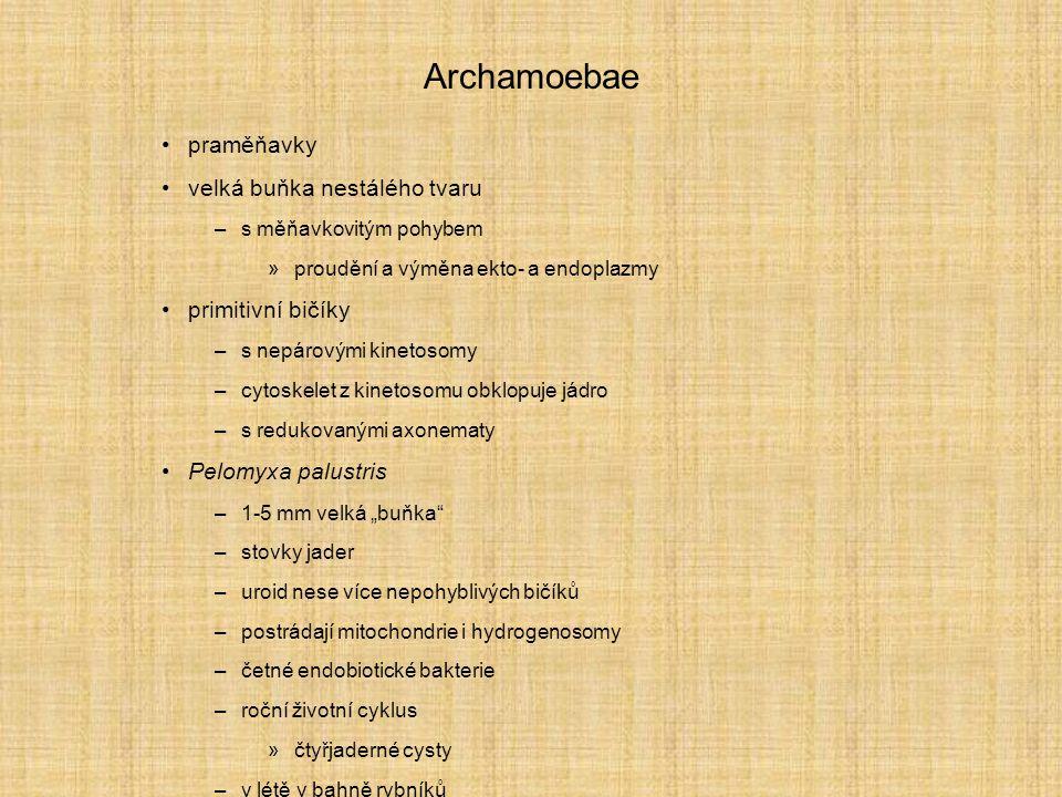 Archamoebae praměňavky velká buňka nestálého tvaru primitivní bičíky