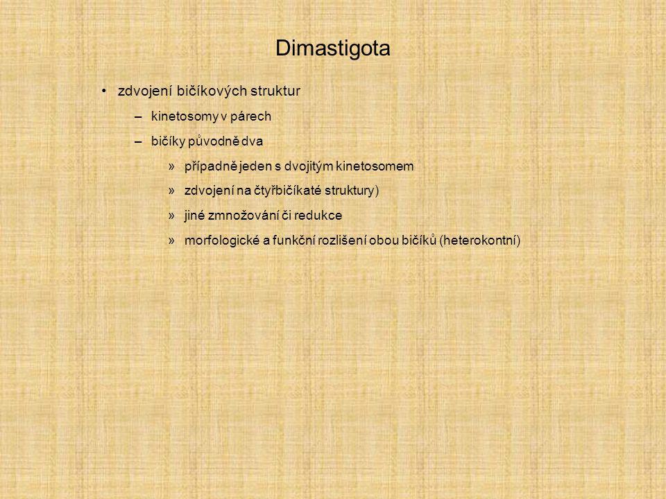 Dimastigota zdvojení bičíkových struktur kinetosomy v párech