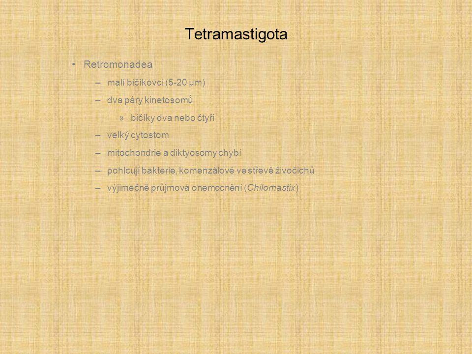 Tetramastigota Retromonadea malí bičíkovci (5-20 µm)