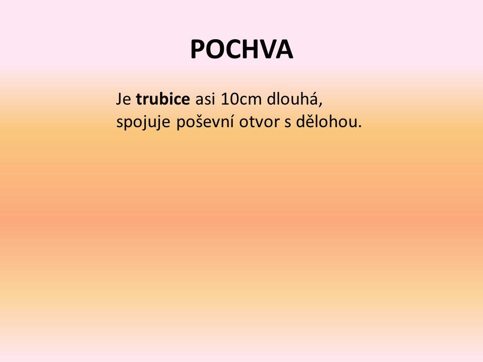 POCHVA Je trubice asi 10cm dlouhá, spojuje poševní otvor s dělohou.