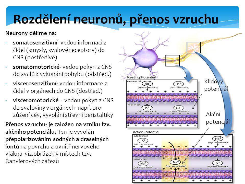Rozdělení neuronů, přenos vzruchu