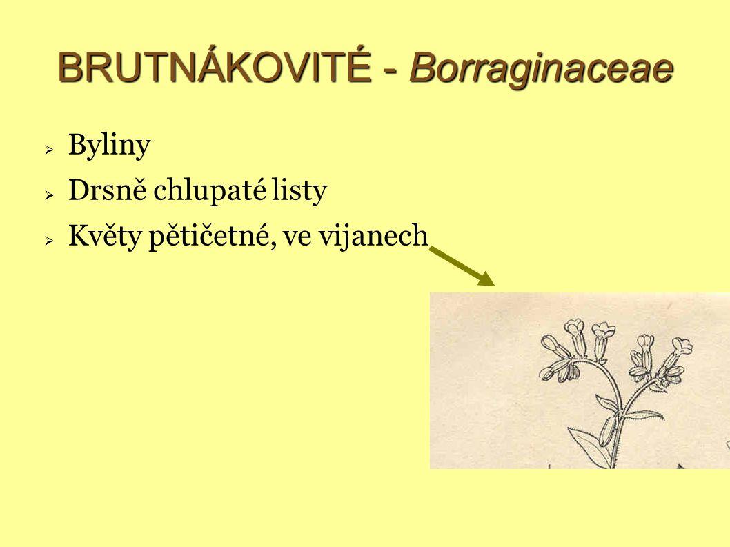 BRUTNÁKOVITÉ - Borraginaceae