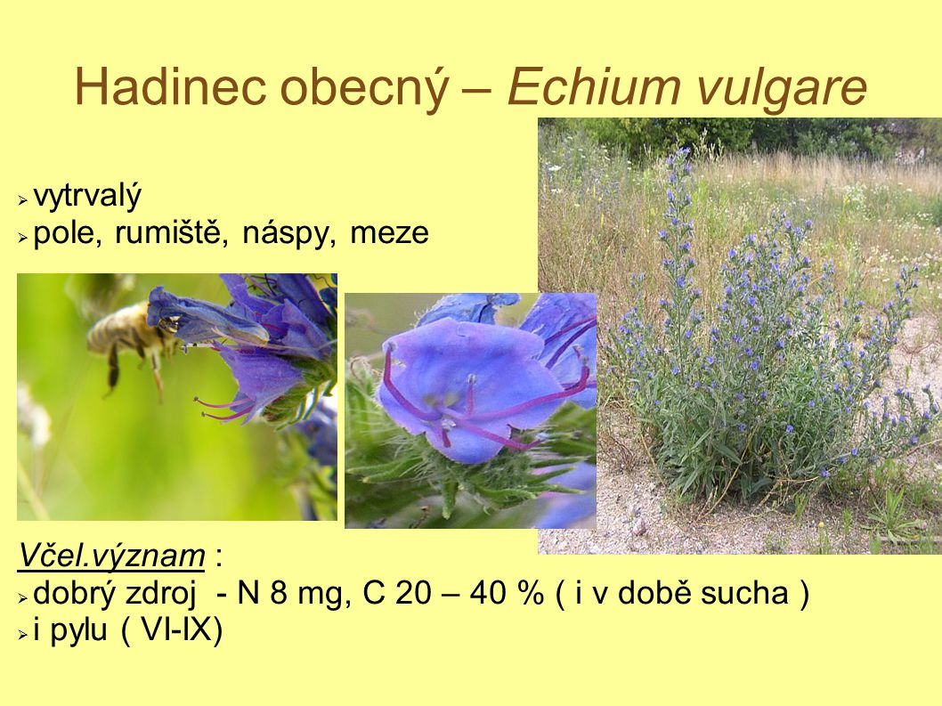 Hadinec obecný – Echium vulgare