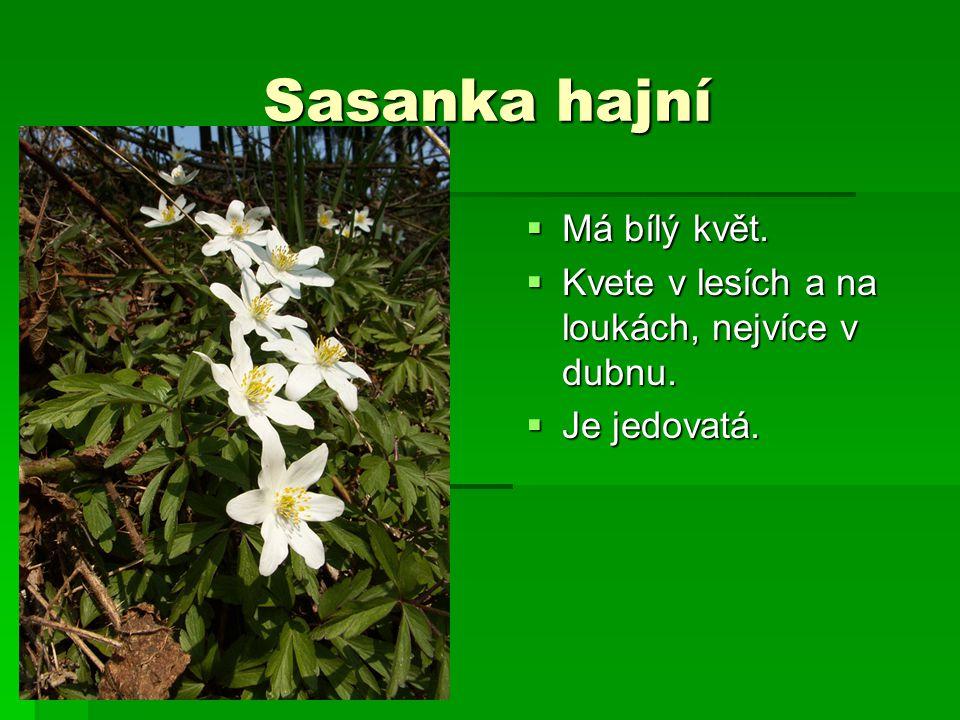 Sasanka hajní Má bílý květ.
