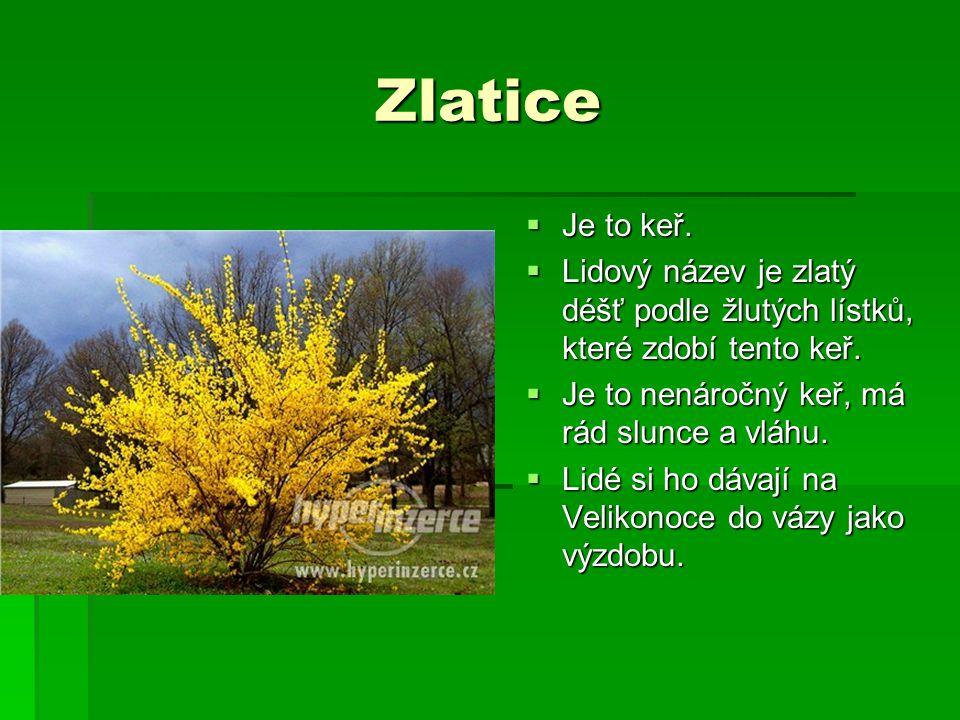 Zlatice Je to keř. Lidový název je zlatý déšť podle žlutých lístků, které zdobí tento keř. Je to nenáročný keř, má rád slunce a vláhu.