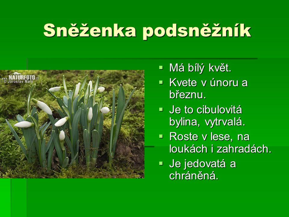 Sněženka podsněžník Má bílý květ. Kvete v únoru a březnu.