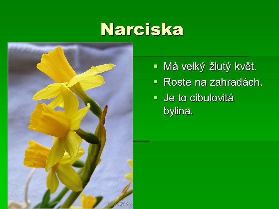 Narciska Má velký žlutý květ. Roste na zahradách.