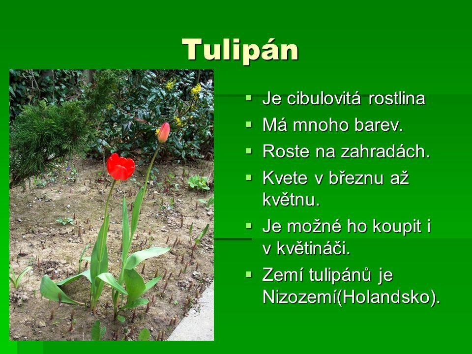 Tulipán Je cibulovitá rostlina Má mnoho barev. Roste na zahradách.