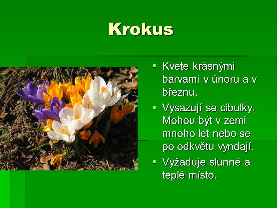 Krokus Kvete krásnými barvami v únoru a v březnu.
