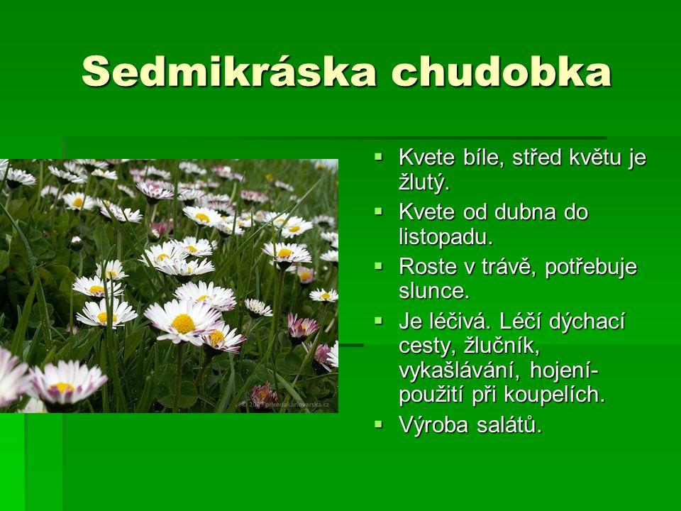 Sedmikráska chudobka Kvete bíle, střed květu je žlutý.