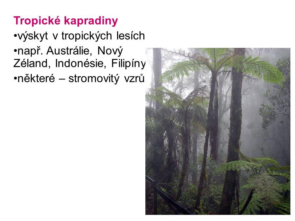Tropické kapradiny výskyt v tropických lesích. např.
