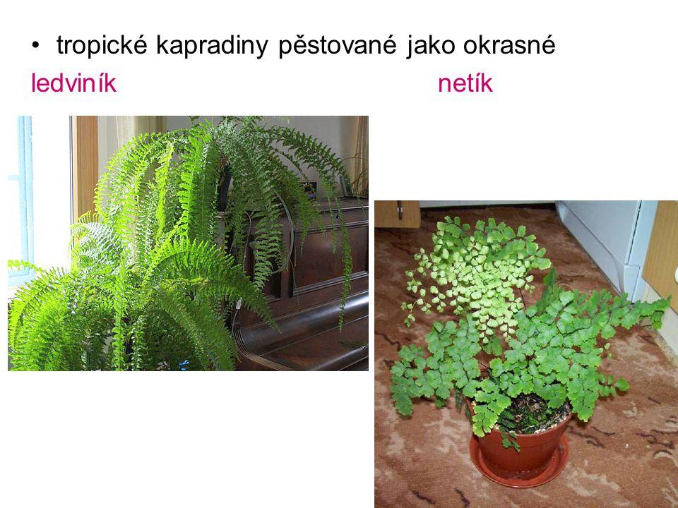 tropické kapradiny pěstované jako okrasné