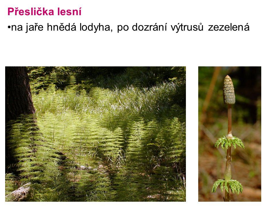 Přeslička lesní na jaře hnědá lodyha, po dozrání výtrusů zezelená