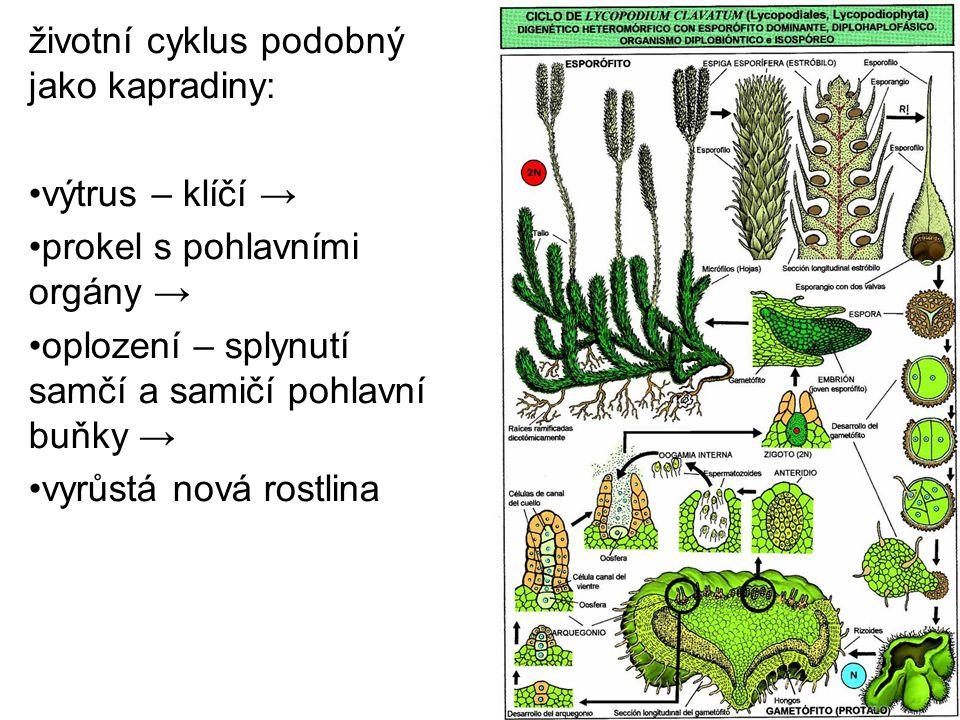životní cyklus podobný jako kapradiny: