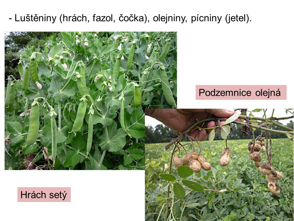 - Luštěniny (hrách, fazol, čočka), olejniny, pícniny (jetel).