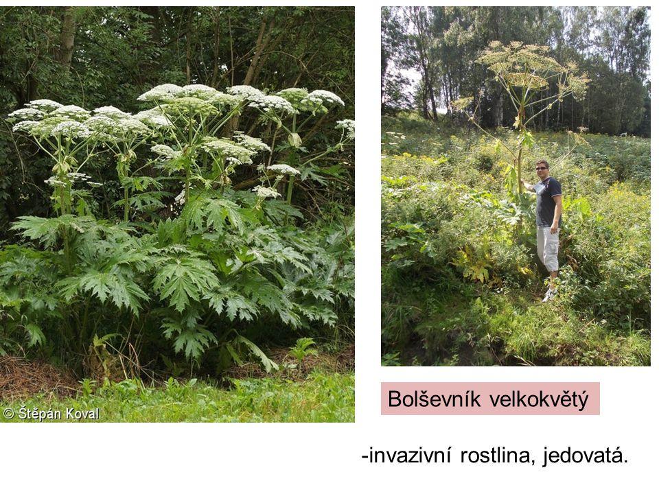 Bolševník velkokvětý -invazivní rostlina, jedovatá.