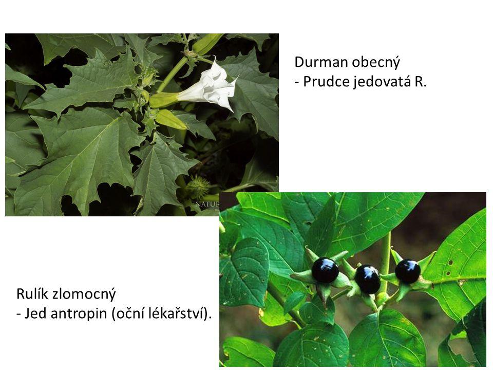 Durman obecný - Prudce jedovatá R. Rulík zlomocný - Jed antropin (oční lékařství).