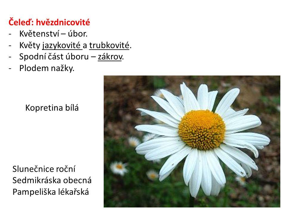 Čeleď: hvězdnicovité Květenství – úbor. Květy jazykovité a trubkovité. Spodní část úboru – zákrov.