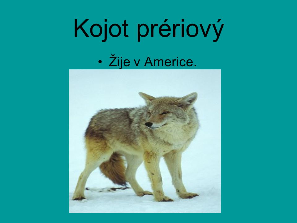 Kojot prériový Žije v Americe.