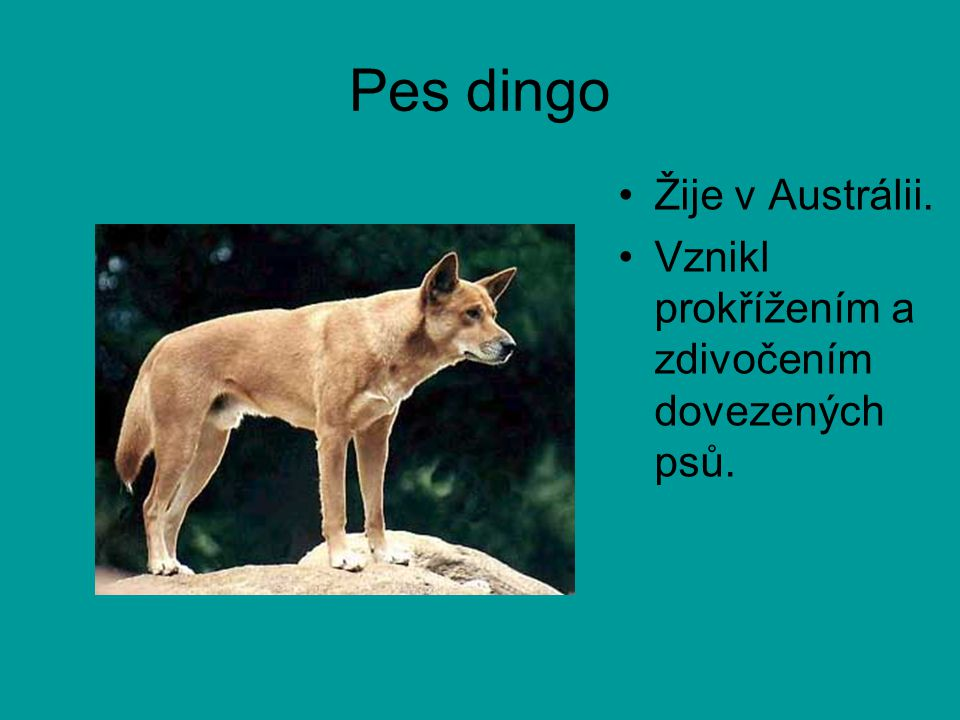 Pes dingo Žije v Austrálii.