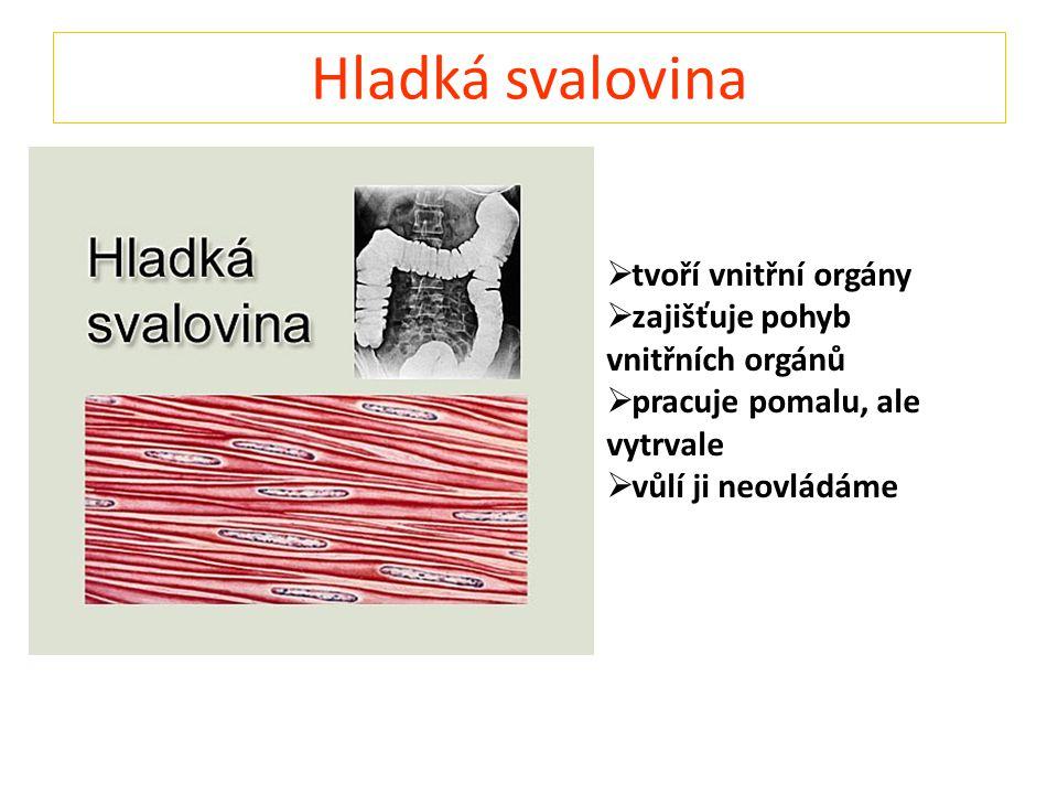 Hladká svalovina tvoří vnitřní orgány zajišťuje pohyb vnitřních orgánů
