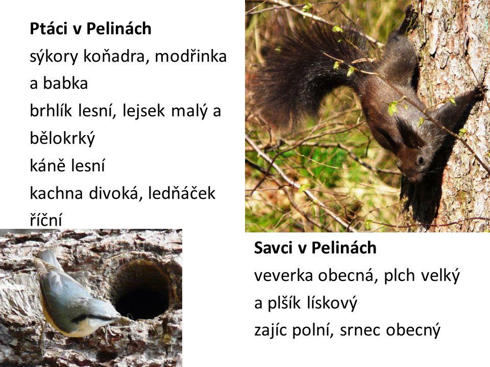 Ptáci v Pelinách sýkory koňadra, modřinka a babka brhlík lesní, lejsek malý a bělokrký káně lesní kachna divoká, ledňáček říční