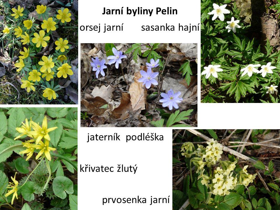 Jarní byliny Pelin orsej jarní sasanka hajní.
