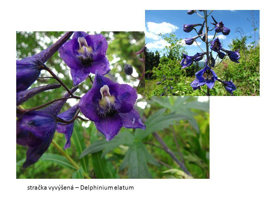 stračka vyvýšená – Delphinium elatum
