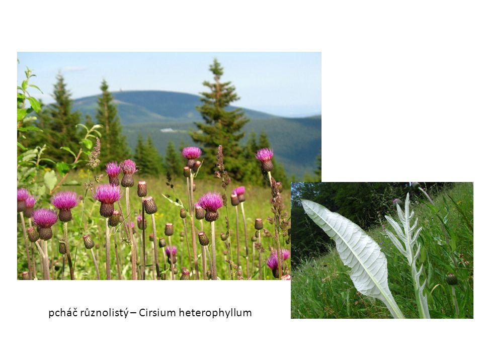 pcháč různolistý – Cirsium heterophyllum