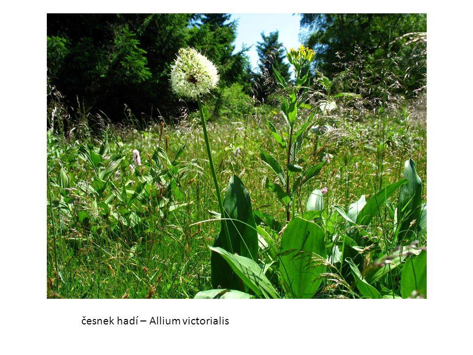 česnek hadí – Allium victorialis