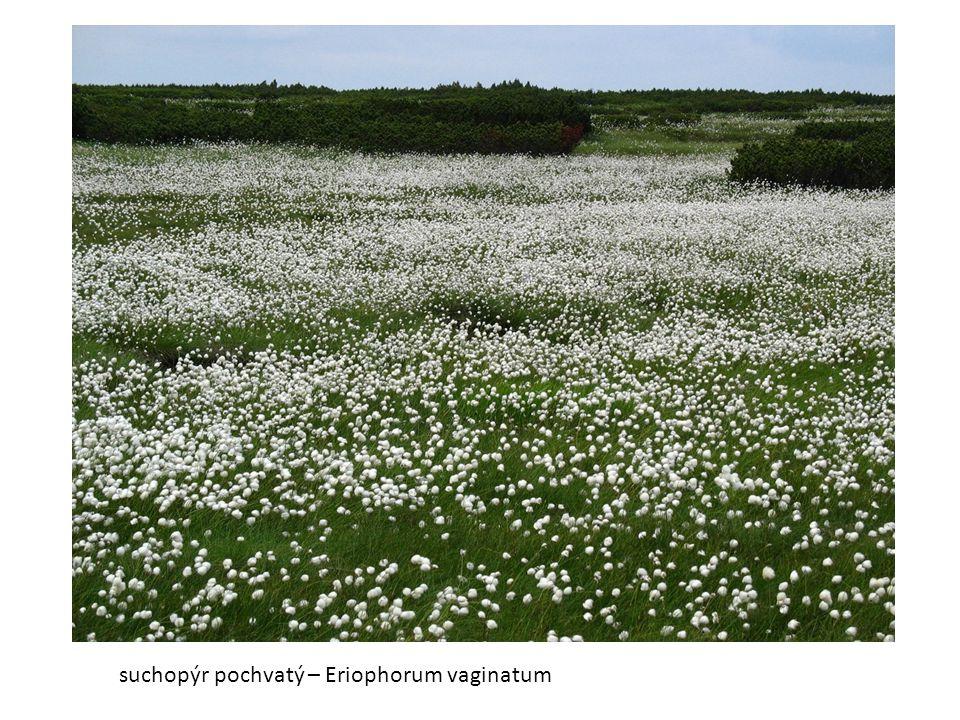 suchopýr pochvatý – Eriophorum vaginatum